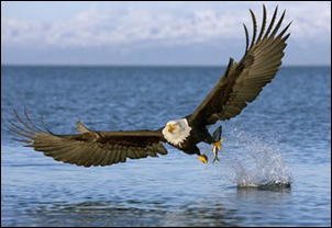 bald_eagle-fishing